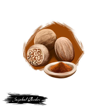Jaiphal Powder Nutmeg Myristica fragrans ayurvedic herb digital art illustration with text isolated on white. Healthy organic spa plant widely used in treatment, for preparation medicines.