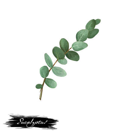 Eucalyptus ayurvedic herb digital art illustration with text isolated on white. Healthy organic spa plant widely used in treatment, for preparation medicines for natural healthcare