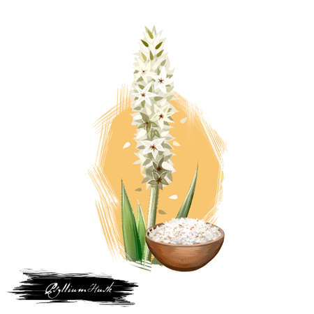 Isabgol Psyllium Husk Plantago ovata ayurvedic herb digital art illustration with text isolated on white. Healthy organic spa plant widely used in treatment, for preparation medicines Фото со стока