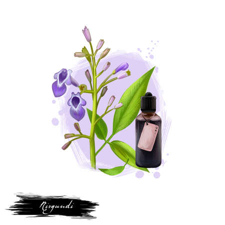 Nirgundi five-leafed chaste vitex negundo ayurvedic herb digital art illustration with text isolated on white. Healthy organic spa plant widely used in treatment, for preparation medicines. Stock Photo