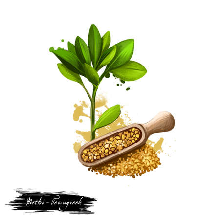 Methi - Fenugreek ayurvedic herb digital art illustration with text isolated on white. Healthy organic spa plant widely used in treatment, for preparation medicines for natural healthcare usages