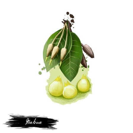 caoba: Mahua Madhuca indica ilustración de arte digital de hierba ayurvédica con texto aislado en blanco. Planta de spa orgánica saludable ampliamente utilizada en el tratamiento, para la preparación de medicamentos para usos sanitarios naturales.