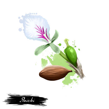 Elaichi Elettaria cardamomum Maton ayurvedic herb digital art illustration with text isolated on white. Healthy organic spa plant widely used in treatment, for preparation medicines for natural usage Banco de Imagens - 83522295