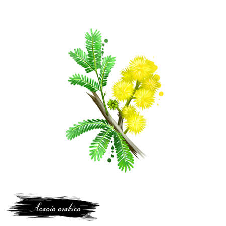 Acacia arabica Babul ayurvedic herb digital art illustration with text isolated on white. Healthy organic spa plant widely used in treatment, for preparation medicines for natural usages