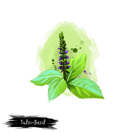 Tulsi-Basil ayurvedic herb digital art illustration with text isolated on white. Healthy organic plant widely used in treatment and cure, plant for preparation medicines for natural healthcare usages Stock Photo