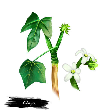 Chaya vegetable isolated on white background. Hand drawn illustration of Cnidoscolus aconitifolius, commonly known as chaya or tree spinach. Organic food. Digital art with paint splashes effect