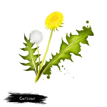 Cats ear grass and flower isolated on white. Hand drawn illustration of hypochaeris genus of plants in dandelion family. Flower head with yellow ray florets. Digital art with paint splashes effect.