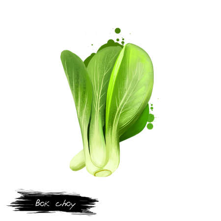 Bok choy vegetable isolated on white. Hand drawn illustration of pak choi type of Chinese cabbage. Organic food. Digital art with paint splashes effect. Green healthy leaves, perfect herb in cooking