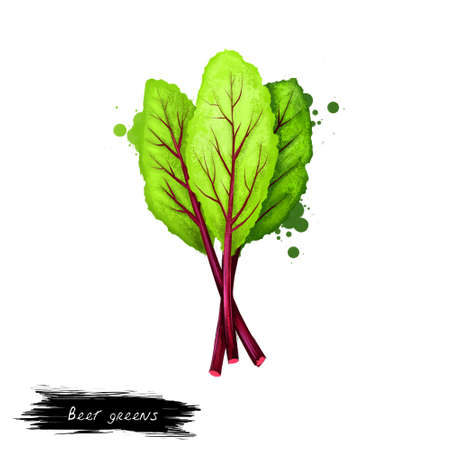 Beet greens vegetable isolated on white. Hand drawn illustration of beetroot leaves plant, table beet, garden beet, red beet. Organic healthy food. Digital art with paint splashes effect.