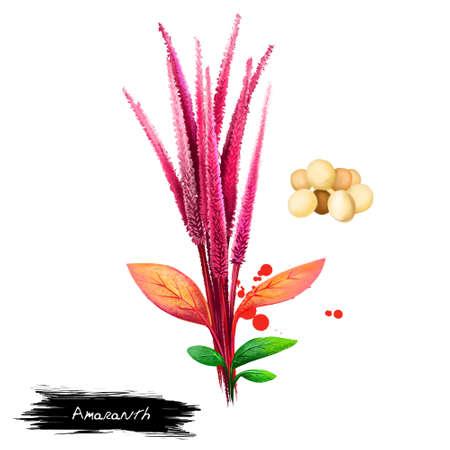 Amarantgroente op wit wordt geïsoleerd dat. Hand getrokken illustratie van Amaranthus, gecultiveerd als bladgroenten, pseudocereals en sierplanten. Biologisch voedsel. Digitale kunst met verf spatten effect. Stockfoto