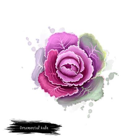 観賞用ケールは、白で隔離。芽キャベツのデジタル アート イラスト。有機健康食品。紫の葉キャベツの野菜。手描き植物のクローズ アップ。クリ 写真素材