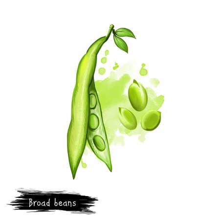 넓은 콩. Vicia faba, 또한 알려진 fava 또는 faba, 필드 또는 벨 디지털 아트 그림 영어 말 윈저, 비둘기 및 tic 콩입니다. 유기농 건강 식품. 클립 아트 그래픽 스톡 콘텐츠
