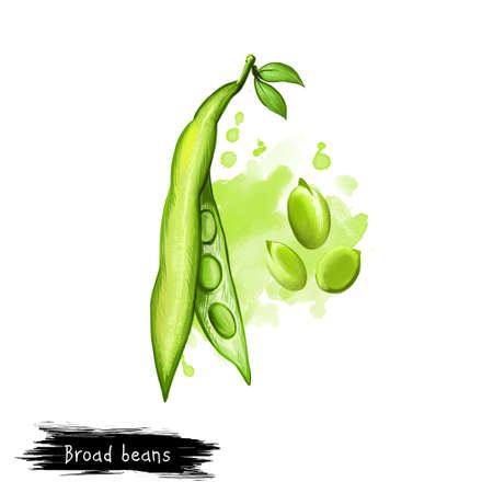 Broad beans. Digital art illustration of Vicia faba, also known fava or faba, field or bell English horse Windsor, pigeon and tic bean. Organic healthy food. Clip art graphic design element