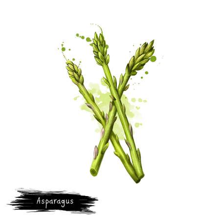 Digitale kunstillustratie van tuinasperge die op wit wordt geïsoleerd. Wetenschappelijke naam Asparagus officinalis, voorjaarsgroente, bloeiende meerjarige plant. Biologisch gezond voedsel. Illustraties grafisch ontwerp Stockfoto