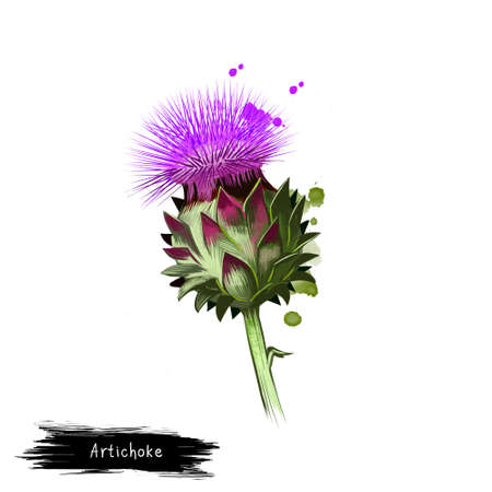 Globe artichoke variety of thistle cultivated as food digital art illustration isolated on white. Organic healthy food. Green vegetable. Hand drawn plant closeup. Clip art. Graphic design element