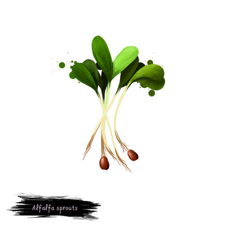 Alfalfa sprouts Medicago sativa or lucerne digital art illustration isolated on white. Organic healthy food. Green vegetable. Hand drawn plant closeup. Clip art illustration. Graphic design element