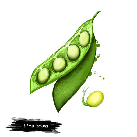 Lima beans digital illustration isolated on white. Phaseolus lunatus legume grown for edible seeds or beans. Butter or sieva bean organic vegetarian healthy food. Paint splashes effect. Graphic design