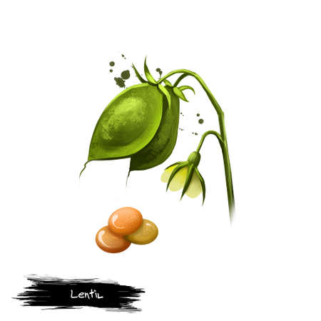 Lentil edible pulse bushy annual plant of legume family, known for lens-shaped seeds digital illustration isolated on white. Organic vegetarian healthy food. Paint splashes effect. Graphic design Stockfoto