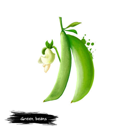 Green beans digital illustration isolated on white. French beans, string snap beans, or snaps unripe fruit and protective pods of common bean. Digital art with paint splashes effect. Graphic design