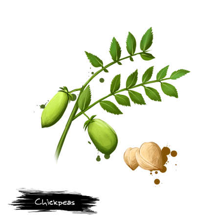 Chickpeas digital illustration isolated on white. Chick pea legume of family. Bengal gram or garbanzo bean, Egyptian pea. Organic vegetarian healthy food. Digital art with paint splashes effect. Stockfoto