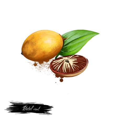Betelnoten in shell en de helft met blad op wit wordt geïsoleerd dat. Hand getrokken illustratie van areca noot. Biologisch gezond voedsel. Digitale kunst met verf spatten effect. Grafische illustraties voor ontwerp, webprints. Stockfoto