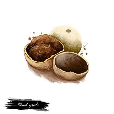Van de appelferonia Limonida van Kaith de Houten ayurvedic illustratie van de kruid digitale die kunst met tekst op wit wordt geïsoleerd. Gezonde organische kuuroordinstallatie die wijd in behandeling, voor voorbereidingsgeneesmiddelen wordt gebruikt Stockfoto