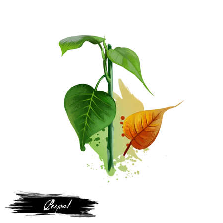 pipal: Peepal Ficus religiosa ayurvedic herb digital art illustration with text isolated on white. Healthy organic spa plant widely used in treatment, for preparation medicines for natural healthcare usages