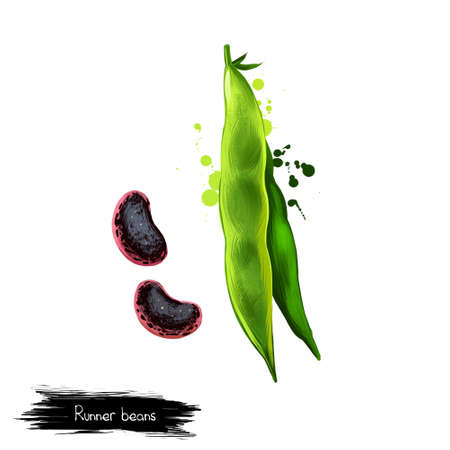 Runner beans isolated on white. Phaseolus coccineus, known as scarletr bean or multiflora bean plant in legume. Digital art illustration. Organic healthy food. Green vegetable. Graphic design element Stock Photo