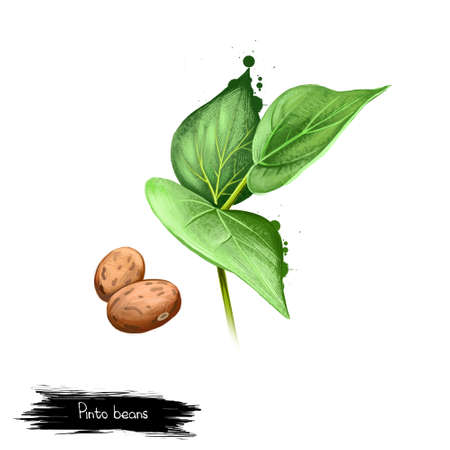 Pinto beans or common bean with leaves isolated on white. Filling for burritos. Digital art illustration. Organic healthy food. Green vegetable. Graphic design element with splashes clip art