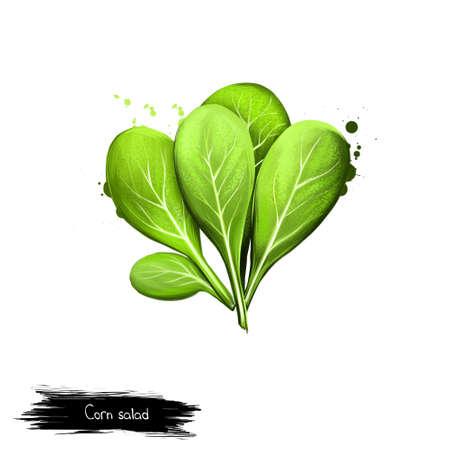 Feldsalat lokalisiert auf Weiß. Digital-Kunstillustration Valerianella Locusta Blattgemüse der grünen Farbe. Gewöhnliche Cornsalat, Feldsalat, Feldsalat, Nusssalat, Feldsalat und Rapunzel Standard-Bild - 83282025