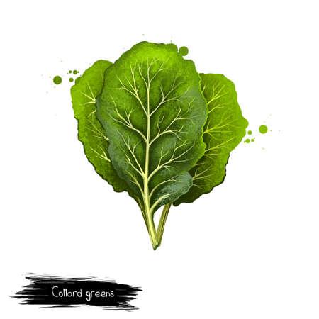 Collard greens geïsoleerd op wit. Grote, donkerkleurige, eetbare bladeren en als siertuintje. Digitale kunstillustratie. Biologisch gezond voedsel. Groene groente. Grafisch ontwerpelement met spatten