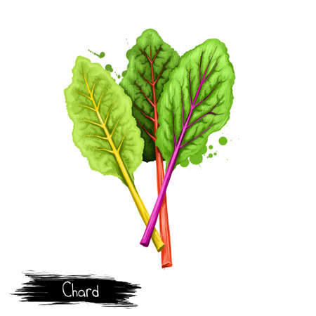 Chard leafy green vegetable often used in Mediterranean cooking isolated on white. Digital art illustration. Organic healthy food green vegetable. Graphic design element with splashes. Clip art design
