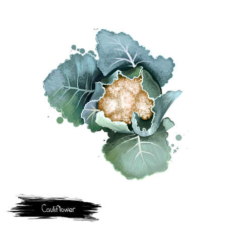 Cauliflower isolated on white. Head is edible white flesh called curd. Digital art illustration. Organic healthy food. Green vegetable. Graphic design element with splashes. Clip art design