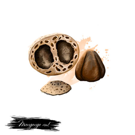 Mongongo nut isolated on white. Hand drawn illustration of mongongo fruit, manketti nuts or nongongo. Organic healthy food. Digital art with paint splashes effect. Graphic clip art for design,