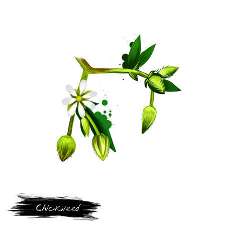 Chickweed vegetable with flower isolated on white. Hand drawn illustration of chickenwort, craches maruns, winterweed, stellaria media, chickweed. Organic food. Digital art with paint splashes effect. Banco de Imagens - 83282046