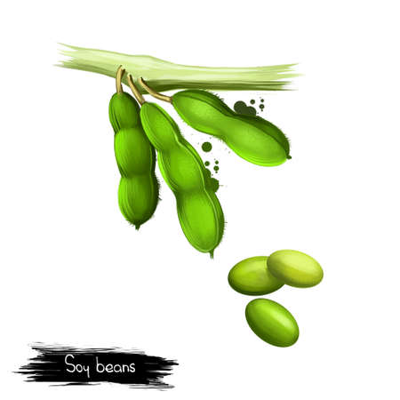 Soy beans isolated on white. Glycine max, commonly known as soybean, species of legume grown for edible bean. Digital art illustration. Organic healthy food. Green vegetable. Graphic design element