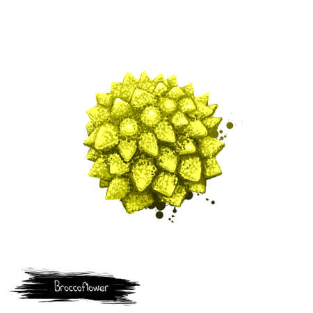 Broccoflower isolated on white. Digital art illustration. Romanesco broccoli with striking and unusual fractal patterns of flower head. Organic healthy food. Green vegetable. Graphic design element