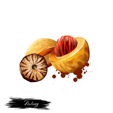 De noot van de notemuskaat die op wit wordt geïsoleerd. Hand getrokken illustratie van rode foelie binnen nootmuskaat fruit. Biologisch gezond voedsel. Digitale kunst met verf spatten effect. Grafische illustraties voor ontwerp, web en print.