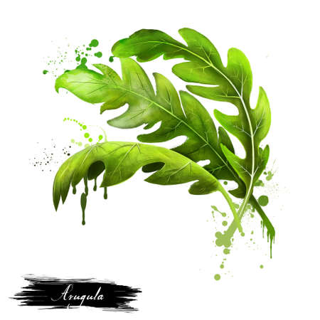twigs: Arugula icon. Eruca sativa. Annual plant known as salad rocket, rucola rucoli rugula colewort roquette, and arugula. Plant of the Brassicaceae family. Garden rocket, rocket and eruca. Digital art. Stock Photo