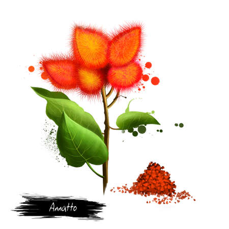 Annatto lipstick tree and dried seeds. Orange-red condiment and food coloring from seeds of achiote Bixa orellana. Used to impart yellow or orange color to foods, give flavor and aroma. Digital art. Stock Photo
