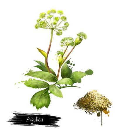Angelica bos of bos. Angelica sylvestris. Soorten van het geslacht Apiaceae. Grote gevleugelde bladeren en samengestelde schermen van witte of groen-witte bloemen. Gedroogde tuin Angelica. Digitaal kunstbeeld. Stockfoto