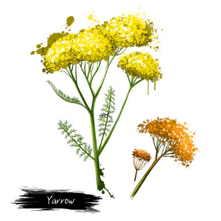 Yellow flowering yarrow plant fresh and dried. Achillea millefolium, commonly known as yarrow or common yarrow. Plumajillo. Labels for Essential Oils and Natural Supplements. Digital art image.