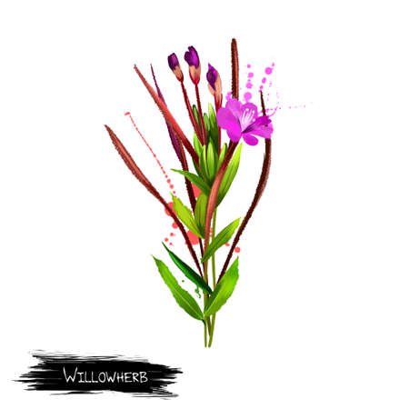 Willowherb epilobium flower plant isolated on white. Dry fermented tea of fireweed Chamerion angustifolium. Rosebay willowherb. Traditional Russian Koporye Tea. Useful herbal tea. Digital art Stock Photo
