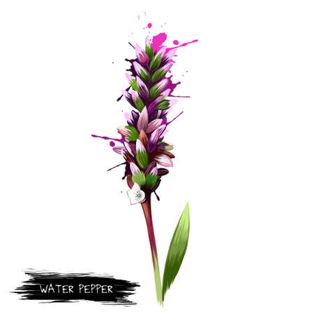 Water-pepper, water pepper or marsh pepper knotweed Persicaria hydropiper, Polygonum hydropiper. Water-pepper plant flower. Herbs and spices collection. Digital art. Botanical illustration.
