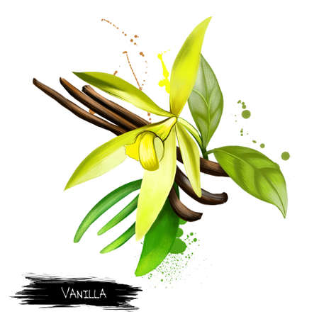 white backing: Vanilla pods and orchid flowers isolated on white background. Vanilla flavoring derived from orchids. Used in culinary and medicinal. Flat-leaved vanilla. Herbs and spices collection. Digital art.