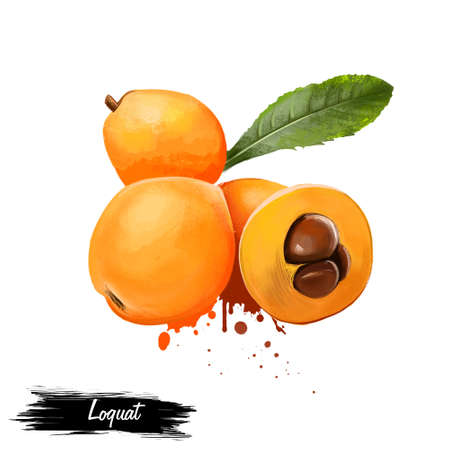 Loquats met bladeren op wit worden geïsoleerd dat. Japanse mispel. Pruim en Chinese pruim, pipa. Loquat Eriobotrya japonica soorten bloeiende plant. Fruits of the world-verzameling. Digitale kunstillustratie