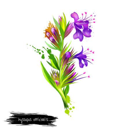 Hyssopus officinalis of hysop is een kruidachtige plant van het geslacht Hyssopus. Hysop bostruiven. Antisepticum, hoestverlichter en slijmoplossend middel, gebruikt als medicinale plant. Kruidencollectie. Digitale kunst. Stockfoto - 83336206