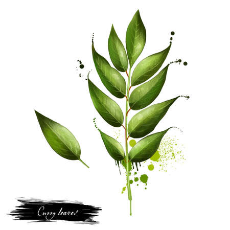 Curry leaves hand drawn branch isolated. Spicy herbs. Doodle cooking ingredient for design. Seasoning. Graphic illustration. Digital. Curry tree tropical to sub-tropical tree in family Rutaceae. Stock Photo