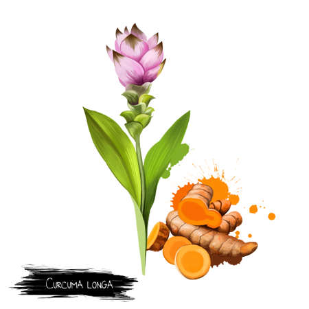 Curcuma flower, root and powder isolated on white. Turmeric Curcuma longa rhizomatous herbaceous perennial plant of ginger family. Gathered for rhizomes. Herbs and spices collection. Digital art. Stock Photo