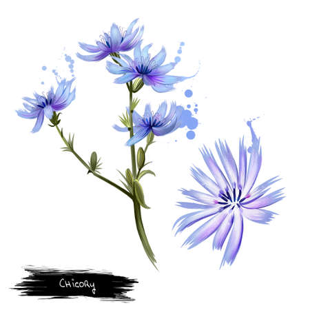 Cichorium. Chicory Cichorium Intybus. Genus of plants in the dandelion tribe within the sunflower family. Perennial herb with blue or lavender flowers. Herbs collection. Digital art. Stock Photo